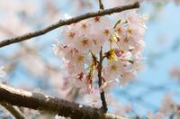 たわわに咲いた桜