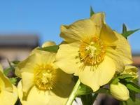 黄色のクリスマスロ-ズの花