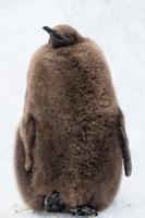 キングペンギンのヒナ 雪背景 (旭山動物園)