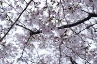 頭上の桜-透かし