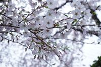 桜の枝-アップ