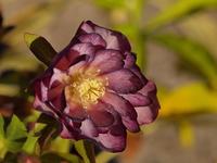 紫色のクリスマスロ-ズの花