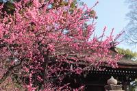 京都 城南宮の梅
