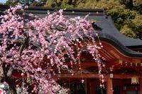 京都 長岡天満宮の梅