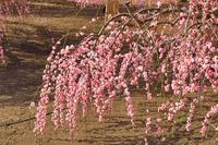 鈴鹿の森庭園、紅梅