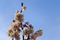 サクランボの花と青空