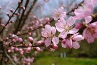 花も実もなる桃の花