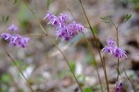 日陰に咲く薄紫色の「イカリソウ」