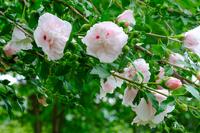 ピンクの花を咲かせる「ムクゲ」