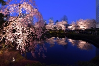 毛利庭園の夜桜