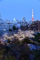 毛利庭園の夜桜と東京タワー