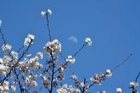 桜と上弦の月