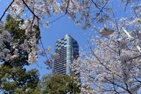 六本木ヒルズ桜坂と満開の桜