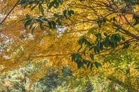 美しい黄葉