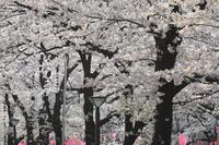 目黒川:満開のさくら