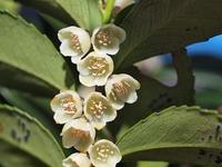 ヒサカキの花