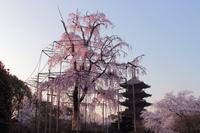 京都 東寺 不二桜と五重塔