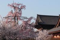 京都 東寺 桜と伽藍