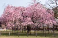 京都 上賀茂神社 斎王桜