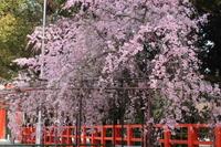 京都 上賀茂神社の枝垂れ桜