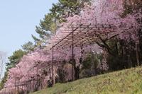 京都 半木の道の枝垂れ桜