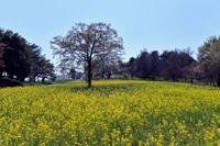 菜の花畑と1本の樹