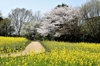 菜の花畑と桜の樹
