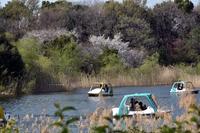 足こぎボートと桜