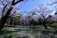 桜と春の草花
