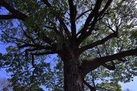 大木の枝振り