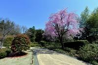 しだれ桜と椿の樹