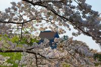 吉野山の桜満開