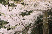 三井寺の満開さくら