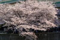 横浜市の満開の桜