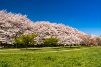 権現堂堤の満開の桜と菜の花