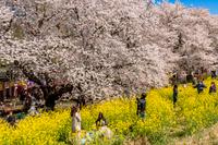 熊谷堤の満開の桜と菜の花