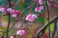 ピンク色の桜の花