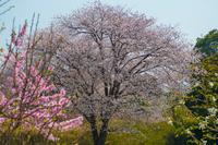 山桜と桃の木