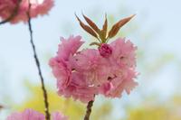 八重桜の花びら