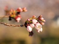 荘川桜の花