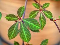 ヘンリ-ヅタの葉