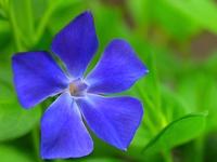 ツルニチニチソウの花