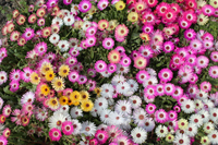 色とりどりのマツバギクの花々