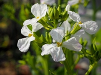 ダイコンの花・白花