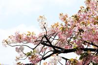 大阪の造幣局で撮影した満開の桜