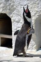 ペンギンの遠吠え