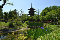 菖蒲と旧寛永寺五重塔