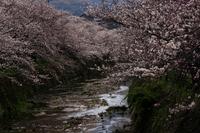 生名谷川の桜