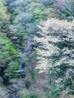 柱戸不動滝と桜