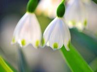 スノ-フレイクの花
